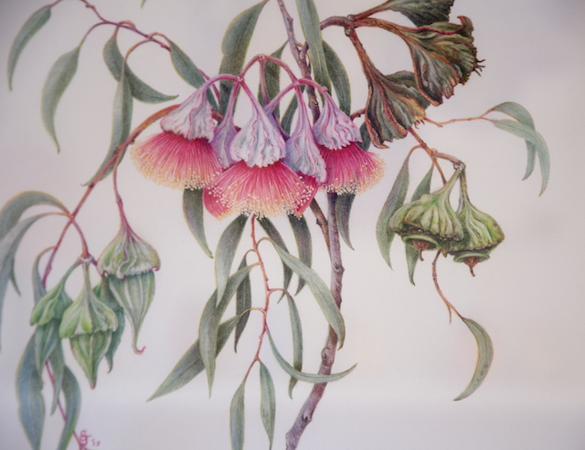 Sandra Johnston - Eucalyptus Kingsmillii Coloured pencil $450 SOLD detail